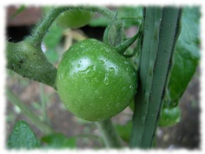 Tomato080622