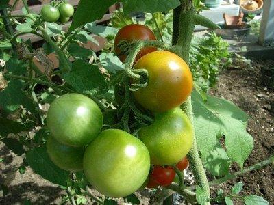 Tomato080719