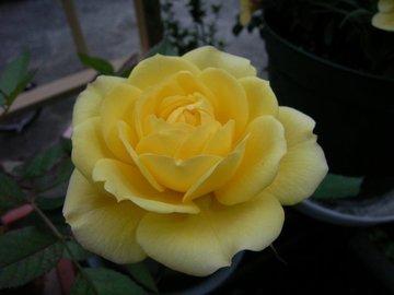 Minibara_yellow090504
